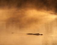 Sunrise light on  misty pool in Everglades National Park, with alligator, © 2007 David A. Ponton