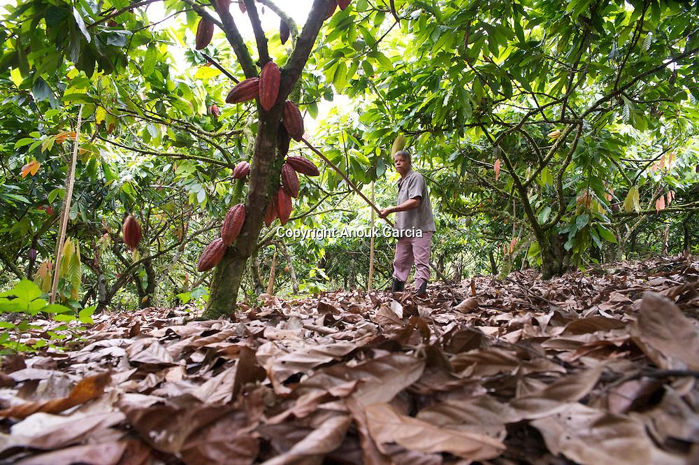 Cueillette des cabosses de cacaos dans une plantation traite? par herbicides/Gathering of dent cocoas in a plantation treated by herbicides