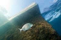 White bream (Diplodus sargus sargus) Larvotto Marine Reserve, Monaco, Mediterranean Sea<br /> Mission: Larvotto marine Reserve