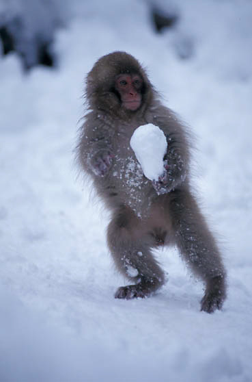 Snow Monkey or Japanese Red-faced Macaque, (Macaca fuscata) Hokkaido, Japan.
