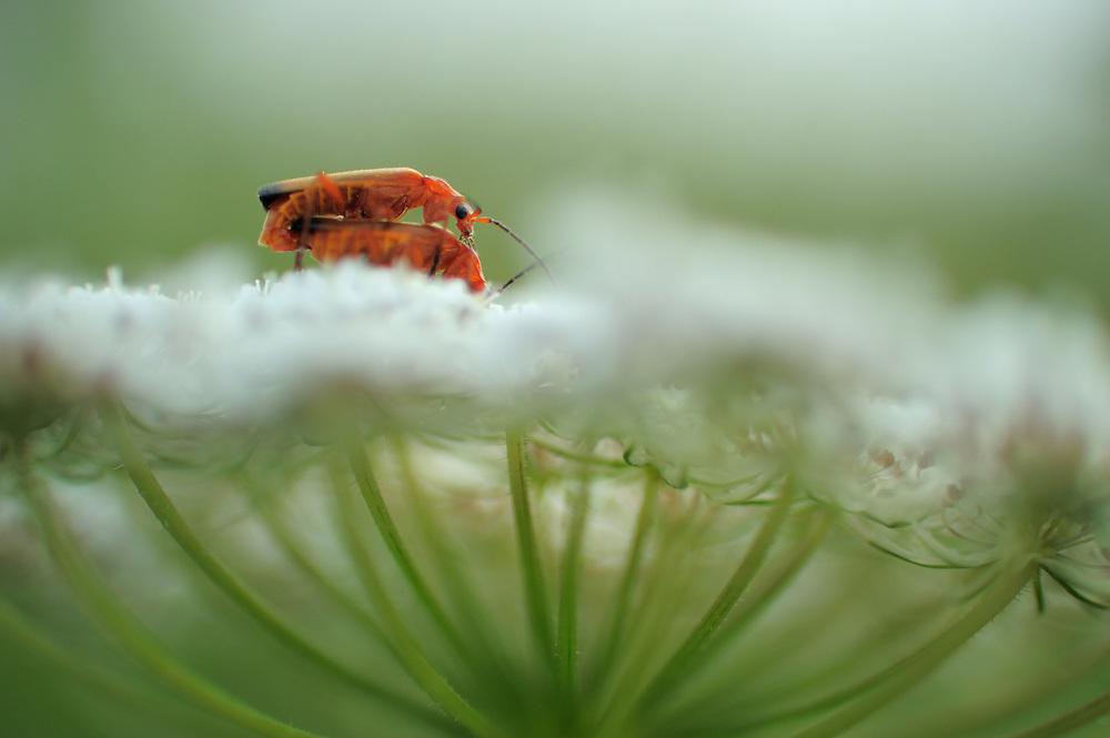 Wild carrot (Daucus carota subsp. carota) with Common red soldier beetle ( Rhagonycha fulva), Denmark