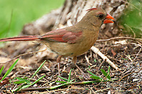 Female Northern Cardinal searching for seed fallen from feeder Wellington Florida USA