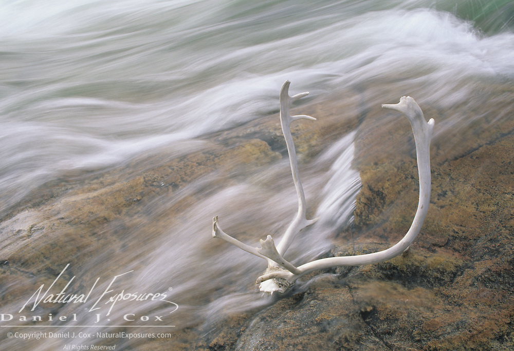 Weathered caribou antlers in the Sila River. Northwest Territories (also known as Nunavut), Canada