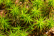 Haircap Moss or Hair Moss (Polytrichum sp.) <br /> United States: Alabama: DeKalb Co.<br /> Alpine Camp for Boys<br /> Fort Payne<br /> 12-May-2017<br /> J.C. Abbott #2945