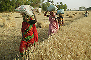 IND.MWdrv04.132.x..MIshri Yadav, 35, (in pink sari) her sister (in red) who has come from a neighboring village to help, and a friend walk to Mishri's home after harvesting wheat. They grow one planting of wheat and then rice during the rest of the year. Mishri's family must pay half of the harvest to the owner of the land that they farm. Ahraura Village, Uttar Pradesh, India. Revisit with the family, 2004. The Yadavs were India's participants in Material World: A Global Family Portrait, 1994 (pages: 64-65), for which they took all of their possessions out of their house for a family-and-possessions-portrait. Work..
