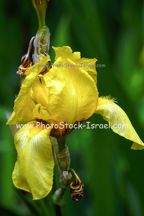 Blooming Yellow Iris Photographed in Latvia