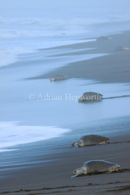 Arribada of Olive Ridley Turtles<br />