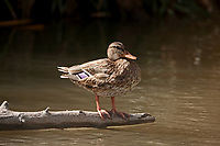 Female Mallard stands on a log in the middle of a river.