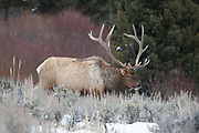 Large bull elk in winter habitat