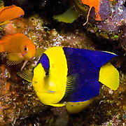 Bicolor Angelfish inhabit reefs and rubble areas. Picture taken Fiji