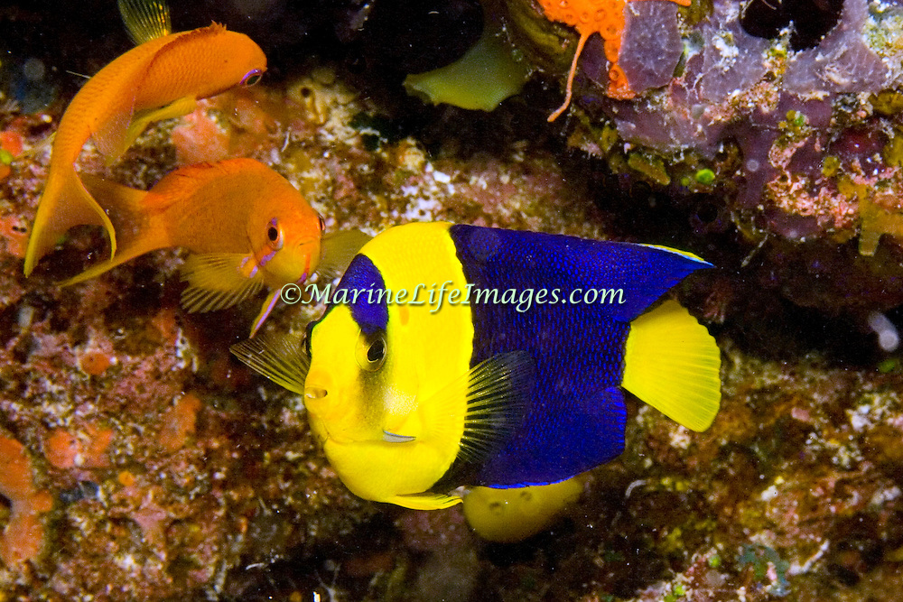 Bicolor Angelfish inhabit reefs and rubble areas. Picture taken Fiji