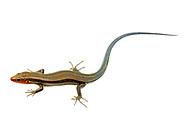 Southeastern Five-lined Skink (Plestiodon inexpectatus) - male<br /> United States: Alabama: Tuscaloosa Co.<br /> Tulip Tree Springs off Echola Rd.; Elrod<br /> 28-Apr-2017<br /> J.C. Abbott #2941