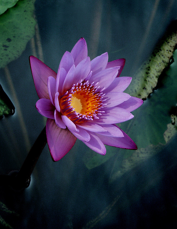 Surreal looking water lily at the Lily Pond.
