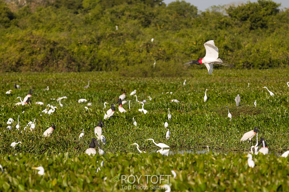 Jabiru Stork and Great Egrets in the Pantanal wetlands, Brazil