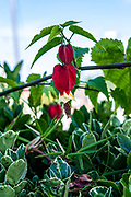 Abutilon megapotamicum or Callianthe megapotamica (trailing abutilon; syn. A. vexillarium) is a species of Abutilon native to Argentina, Brazil and Uruguay. It is a shrub growing to 2.5 metres (8 ft 2 in) tall, with leaves 5–8 centimetres (2.0–3.1 in) long, ovate to shallowly three-lobed. The flowers are orange-yellow with a red base, with five petals about 4 centimetres (1.6 in) long. It is a popular ornamental plant in subtropical gardens. Photographed in Portugal in October