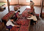 Nyaung Sheve, carefully handsorting tomatoes, near Inle Lake, Burma
