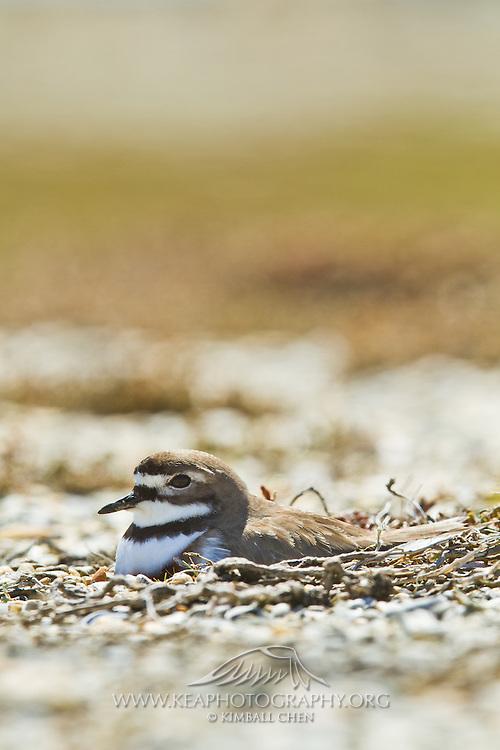 Banded Dotterel nesting, Awarua, New Zealand