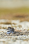 Banded Dotterel nesting, Awarua, New Zealand
