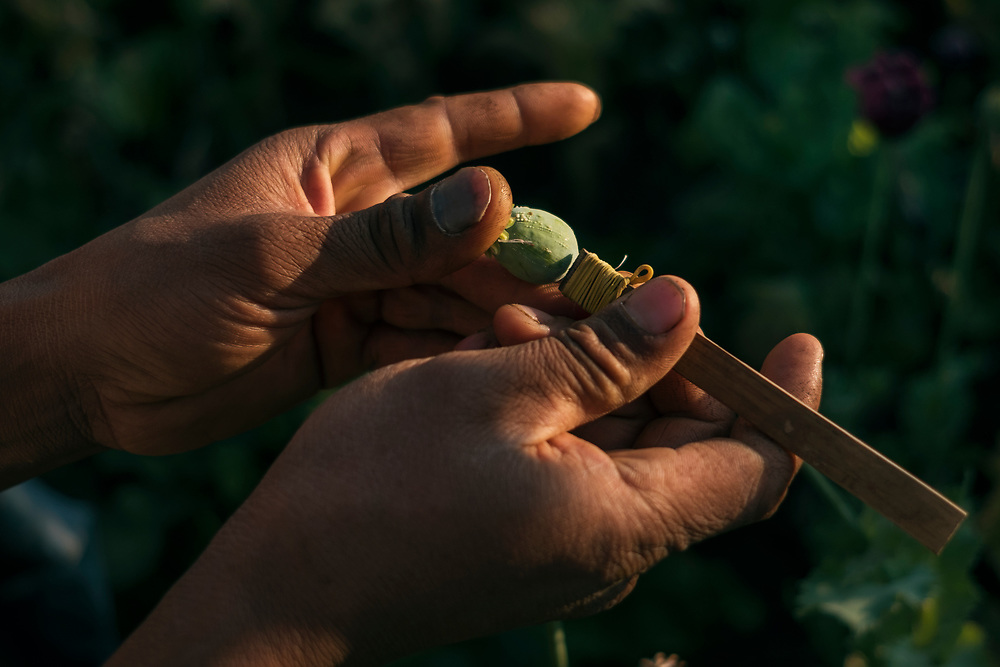 20170222 Shan state<br /> The Poppy pods are lightly scratched with a tool made of bamboo and razors. The opium sips out and are left on the pod to dry for a day before it&acute;s harvested and collected. Shan State, Myanmar.<br /> Photo: Vilhelm Stokstad / Kontinent