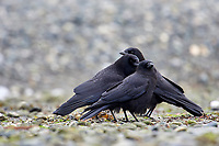 Northwestern Crow (Corvus caurinus) (Also Poss. American Crow),  Qualicum Beach , British Columbia, Canada