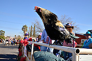 Rooster, Eddie White, a 4-year veteran of the Tucson Rodeo Parade, crows while he waits for the start of the parade.  This 89-year-old event occurs each February in conjunction with La Fiesta de los Vaqueros, the Tucson Rodeo.  The event draws over 150,000 spectators in southern Tucson.