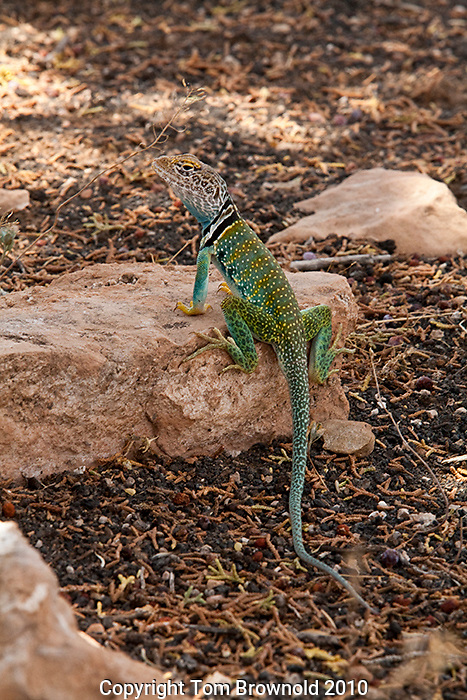 Collard lizard in the Pinon Pine and Juniper forest of Northern arizona