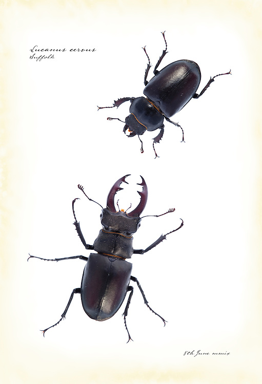 Male and female stag beetle, England