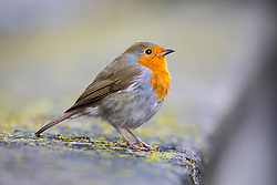 © Licensed to London News Pictures. 30/01/2018. London, UK. A robin sits on a wall in Downing Street as cabinet meets. Temperatures in the capital dropped to 0 degrees celsius last night. Photo credit : Tom Nicholson/LNP