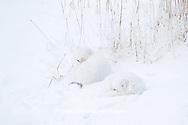 01863-01410 Two Arctic Foxes (Alopex lagopus) in snow Chuchill Wildlife Mangaement Area, Churchill, MB Canada