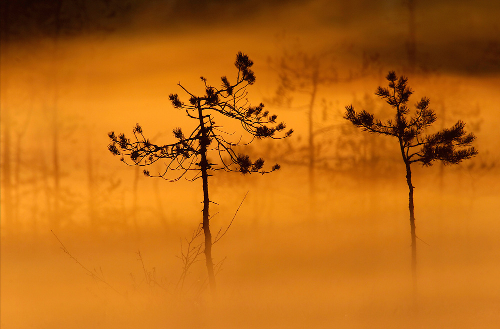 Bog pines, Pinus silvestris, in morning mist, Finland