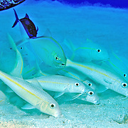 Yellow Goatfish inhabit sand and rubble areas in Tropical West Atlantic; use barbels to dig in sand for food; picture taken Grand Cayman