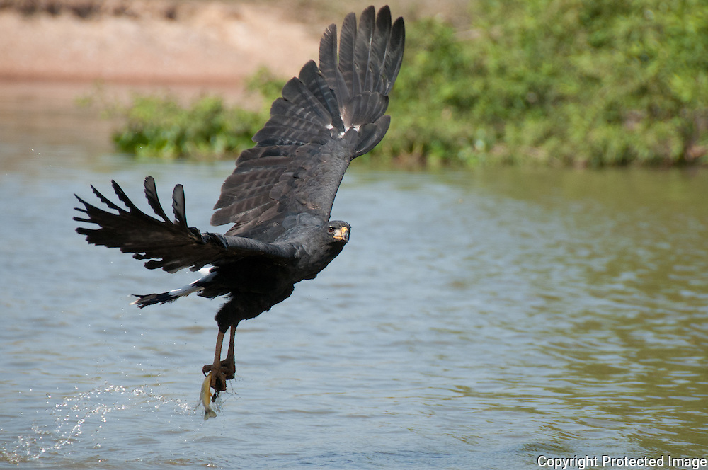 Great Black Hawk fishing along the Pixiam river in the Pantanal, Brazil