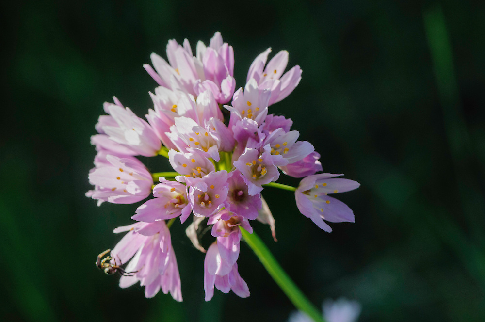 Roze look, Allium roseum