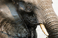 Facial detail of an African elephant bull, Chobe River, Kasane, Botswana.