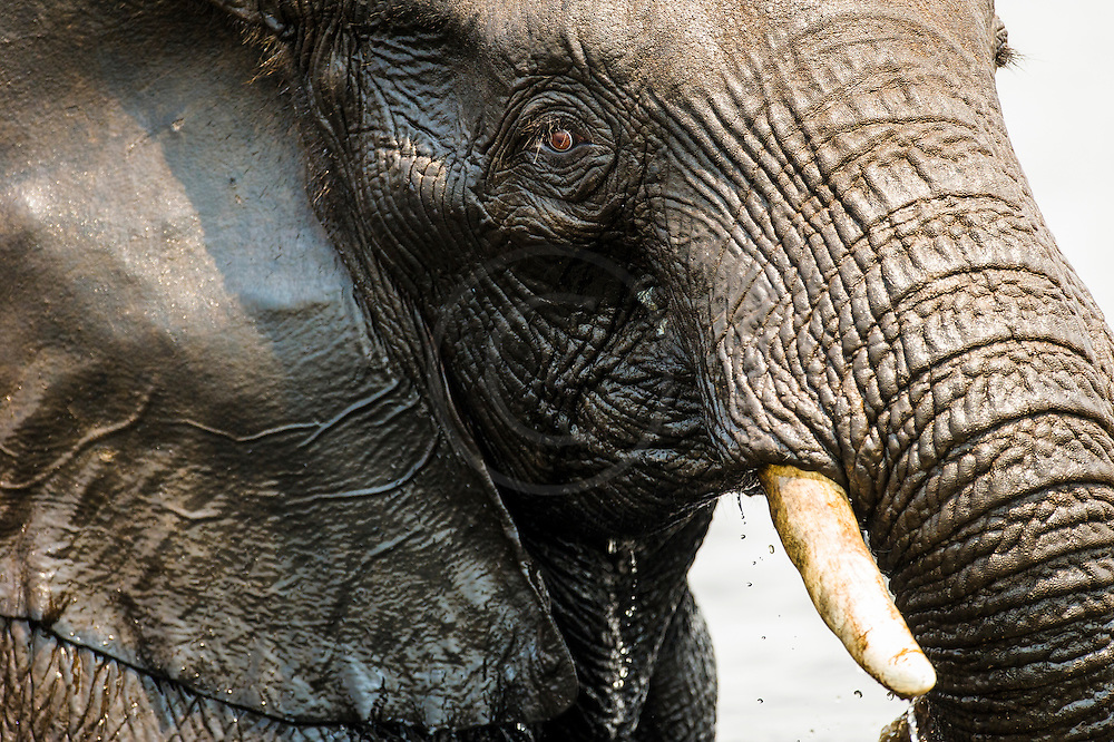 Facial detail of an African elephant bull, Chobe River, Kasane, Botswana.