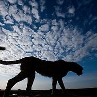 Africa, Kenya, Masai Mara Game Reserve,  Cheetah (Acinonyx jubatas) standing in silhouette atop safari truck