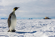 An Emperor Penguin (Aptenodytes forsteri) on sea ice with an icebreaker in the background,  Weddell Sea