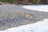 Wolf crossing a river in western Wyoming.