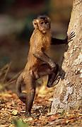 Brown Capuchin Monkey<br />Cebus apella<br />Cerrado Habitat, Piaui State.  BRAZIL.  South America<br />These monkeys in this habitat are unusually terrestrial