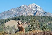 Bull Elk Bugling (Cervus canadensis), North America
