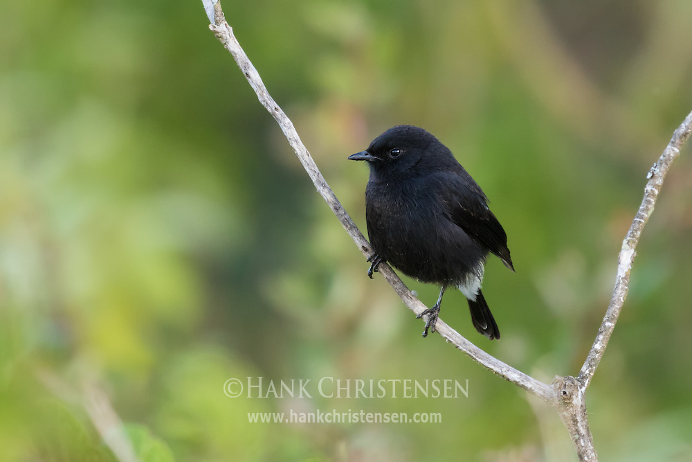 A pied bush chat perches on a branch in early morning, Ooty, Tamil Nadu, India.
