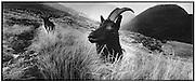 The head of a curios goat: capre nera Verzasca, Alpe di Bietri, Tessin, Ticino; der Kopf einer neugierigen Milchziege ragt aus dem Gras; im Hintergrund Tessiner Berge