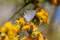 Strymon melinus pudica (Gray Hairstreak) at Big Rock Creek, Los Angeles Co, CA, USA, on California broomsage 09-Sep-18