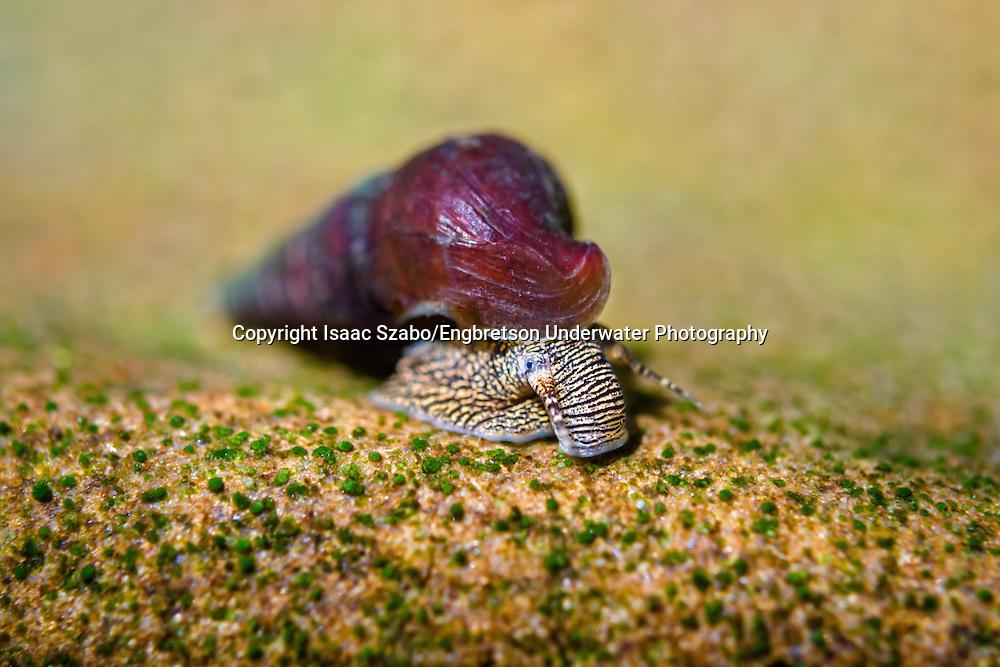 Snail <br /> <br /> Isaac Szabo/Engbretson Underwater Photo
