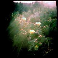 Cactus Flower. Senegal