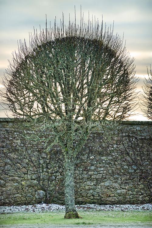 Sorbus aria 'Majestica' (Whitebeam 'Majestica')<br /> <br /> <br /> Dunrobin Castle Sutherland, Scotland