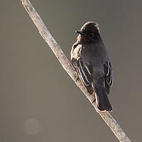 Sayornis nigricans, California