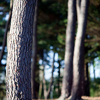 Pine tree trunks, Conleau island, town of Vannes, departament of Morbihan, region of Brittany, France