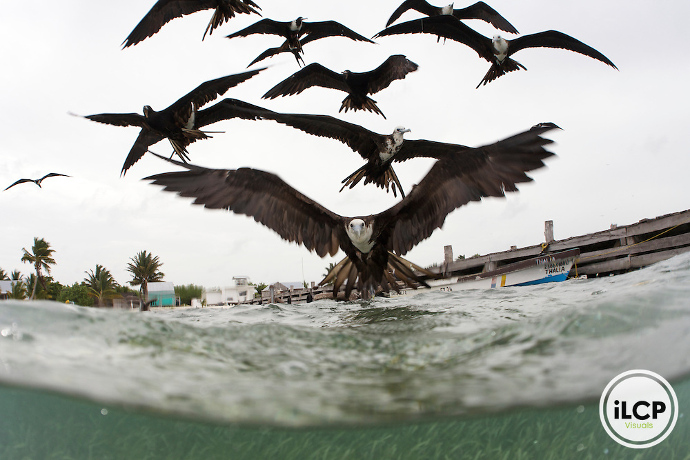 A flock of juvenile and adult Magnificent Frigatebird fly over the water in search of small fish.  Frigatebirds never land on water, and always take their food items in flight.  Juvenile birds have a white head and underparts.