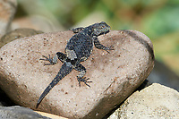 Horrible Spiny Lizard (Sceloporus horridus) basking on rocks beside Lake Chapala, Jocotopec, Jalisco, Mexico